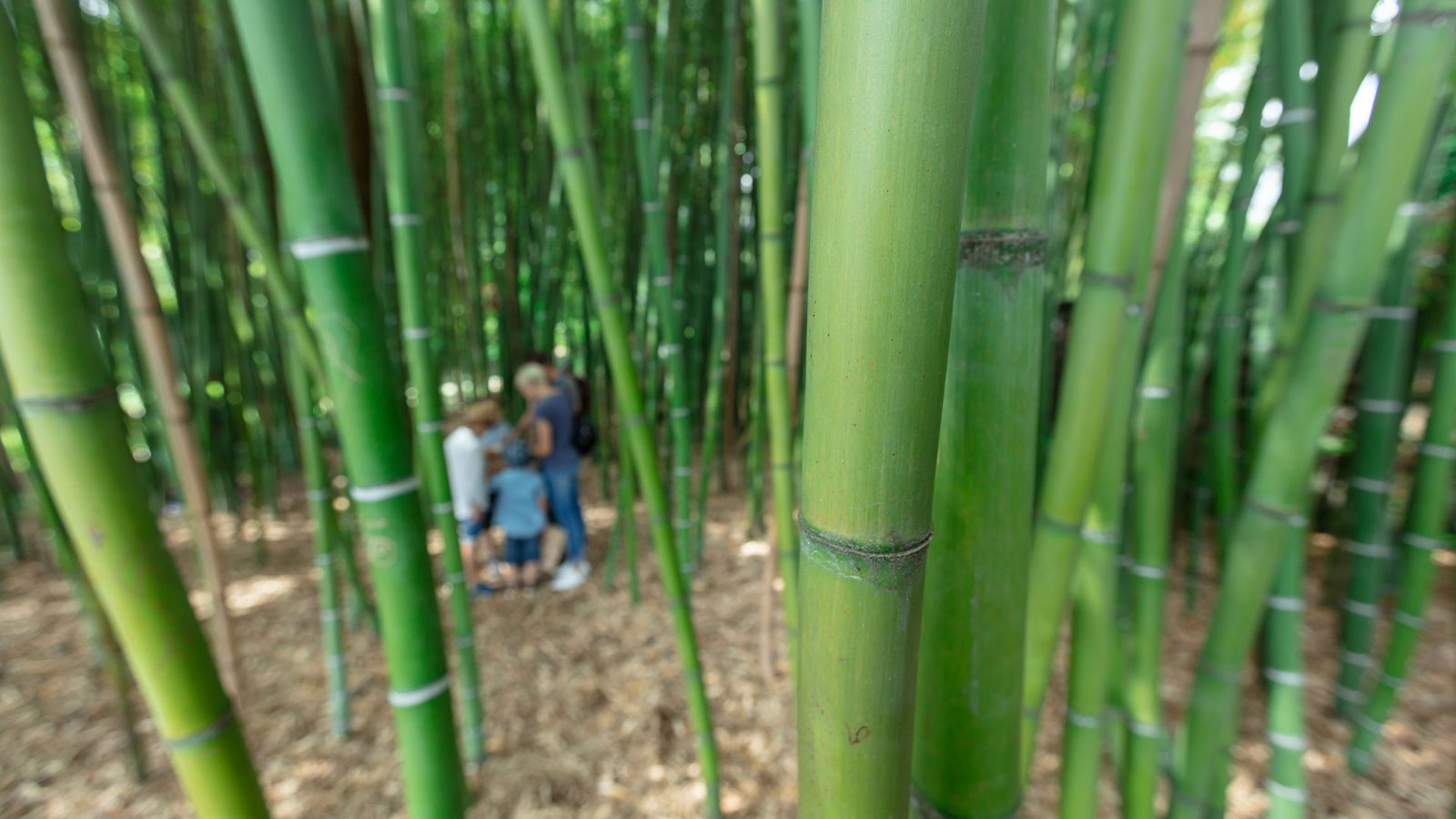 Lost in the Bamboo canes