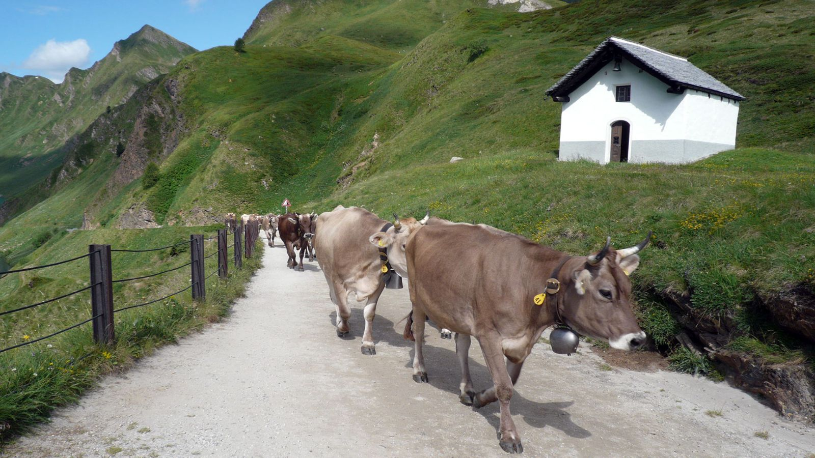 Cows on the way to the alp, lake Ritom