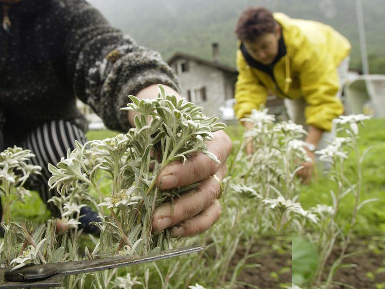 Image 0 - Herbes aromatiques et officinales