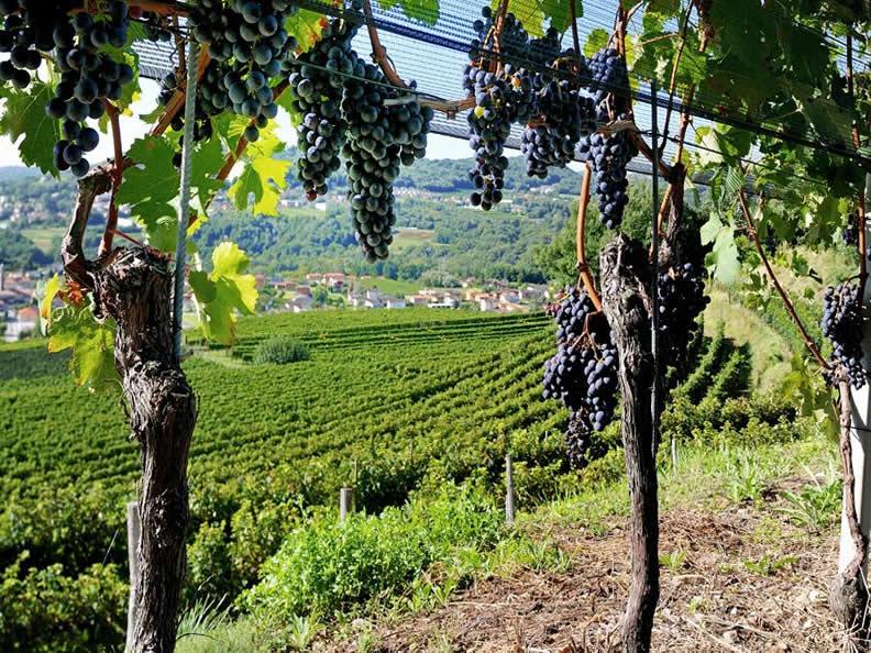 Image 0 - La vitivinicoltura ticinese