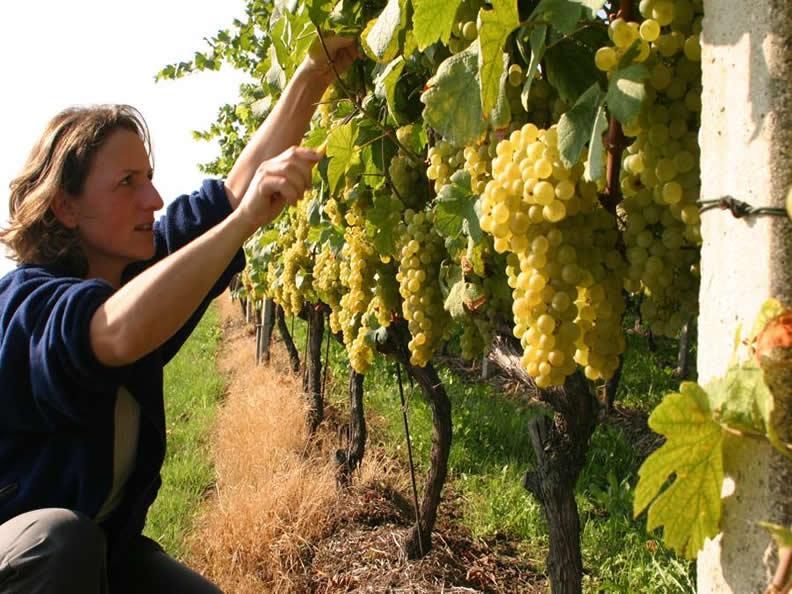 Image 2 - Der Tessiner Weinbau