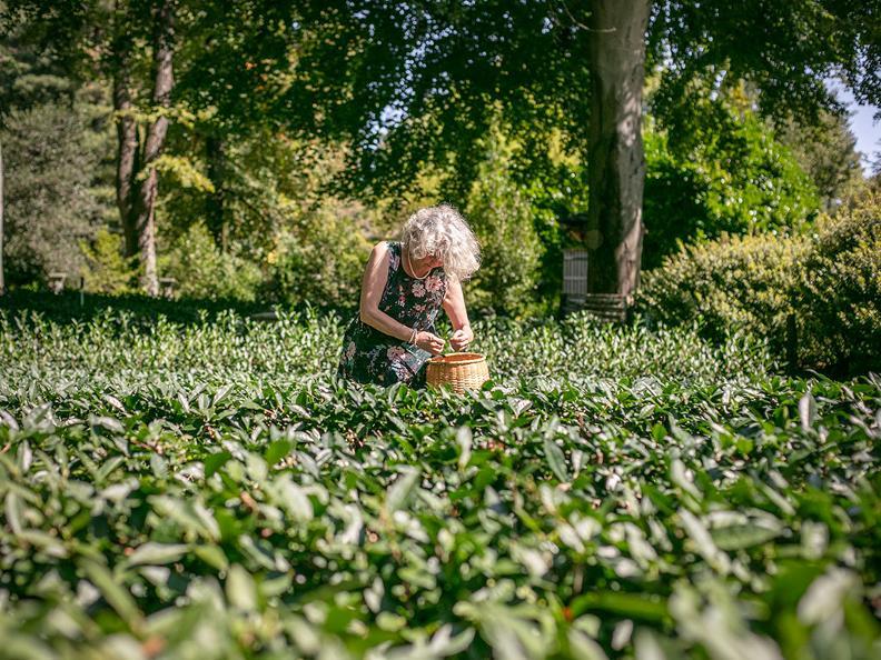 Image 7 - La cultura del tè al Monte Verità