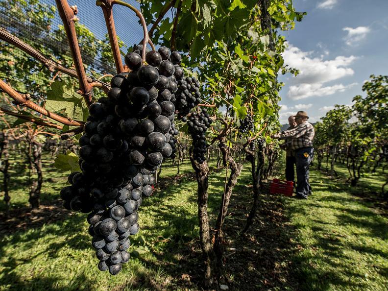 Image 0 - Vendanges dans la région du Mendrisiotto
