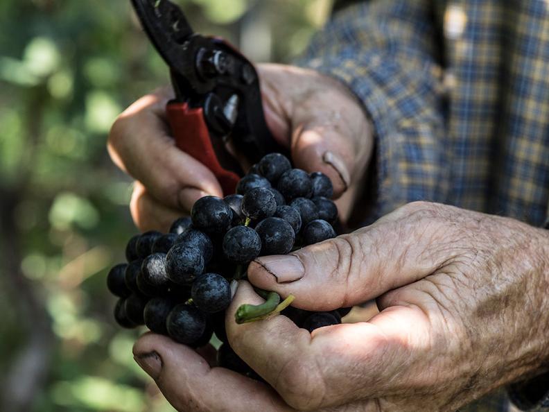 Image 6 - Vendanges dans la région du Mendrisiotto