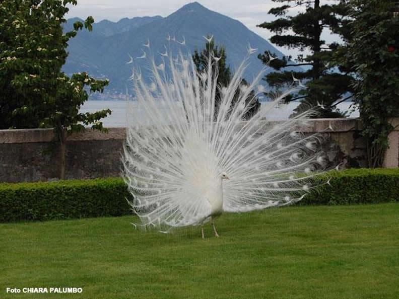 Image 6 - Isola Bella: the Borromeo Palace and Gardens