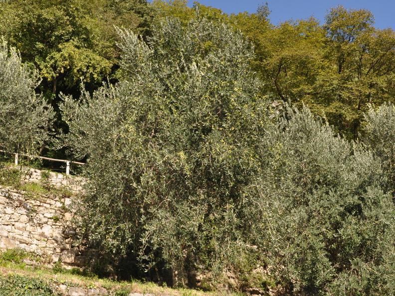 Image 14 - Olive path, Gandria