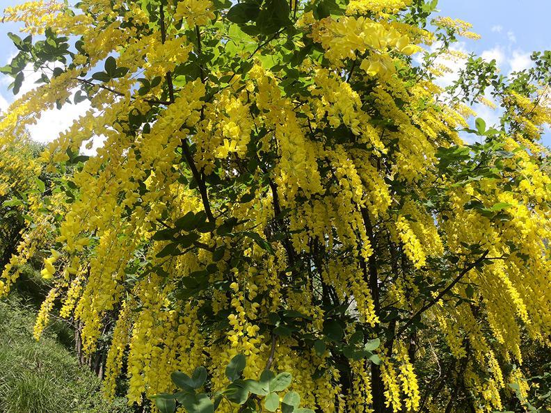Image 4 - Mergugno : dans la forêt jaune