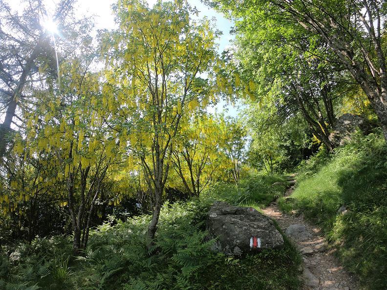 Image 3 - Mergugno : dans la forêt jaune