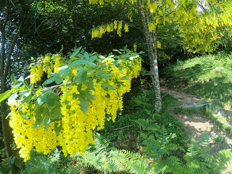 Image 8 - Mergugno : dans la forêt jaune